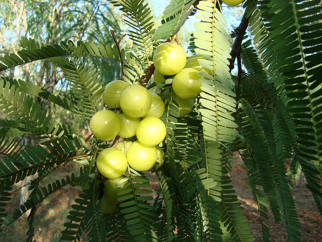 Worship Amla Tree on the day of Karthika masam or Amlaekadashi..!