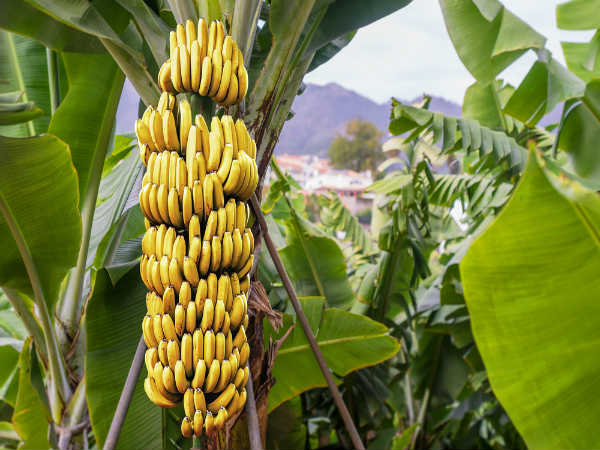 Health Benefits Of Eating One Banana Every Day