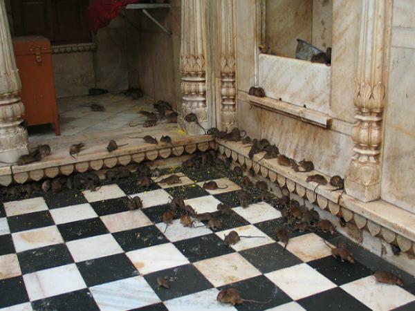 3. ఈ ఆలయంలో దాదాపు 20వేలకు పైగా ఎలుకలున్నాయి..