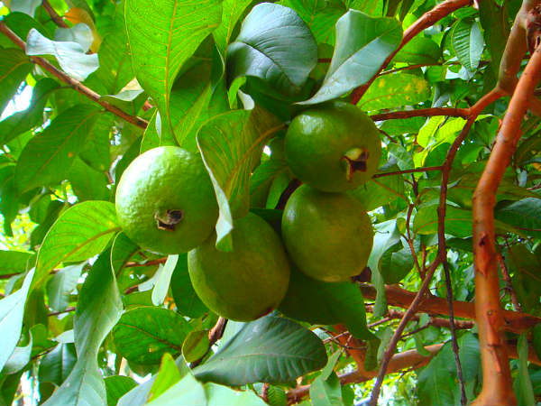 Beauty benefits of guava leaves