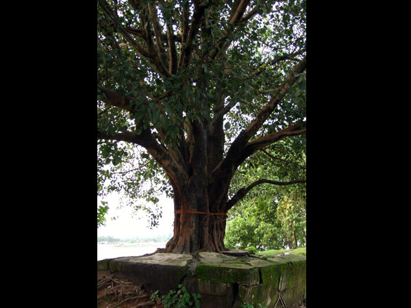 Spiritual Importance Of The Peepal Tree