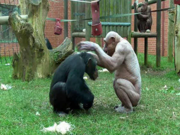 Check How Furious Hairless Chimpanzees Are Seen Fighting