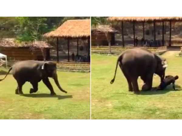 Video Of Elephant Rushing To Rescue Her Caretaker When He Is Attacked