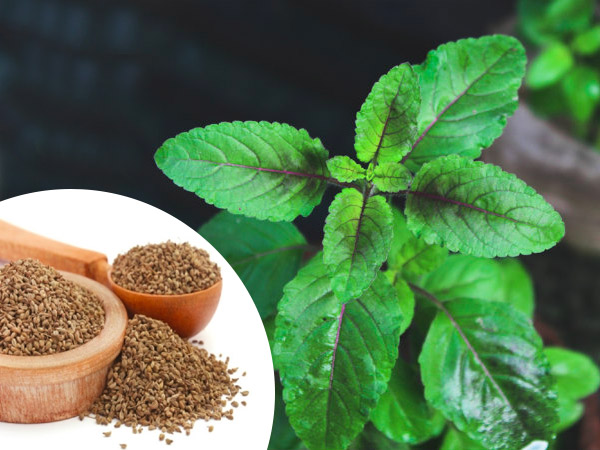Tulsi 5 uses of the Holy Basil to improve overall health, boost immunity