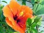 Gardening Different Types Hibiscus 230911 Aid