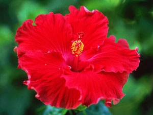 Hibiscus Hair Conditioners Thick Hair
