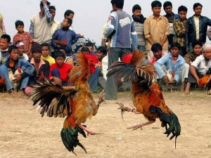 Cock Fights Ready Sankranthi
