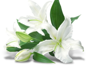 Tips Plant Lilies In Your Garden