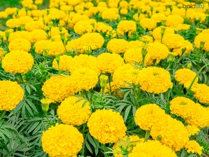 Marigold Beauty Benefits