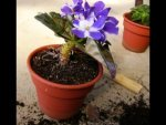 How Grow African Violets Indoors