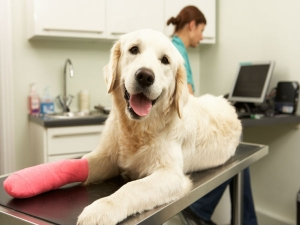 Simple Pet Care Tips An Injured Dog 009598
