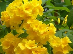 How Grow Esperanza Yellow Bells