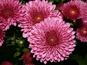 How Grow Care Chamomile Plants Containers Gardening Tips