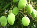 Amazing 14 Health Benefits Green Raw Mango