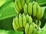 Amazing Benefits Uses Green Bananas