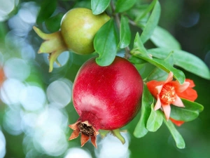 Pomegranate Flowers Natural Remedy Control Diabetes