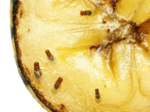 Home Ingredients Get Rid Fruit Flies