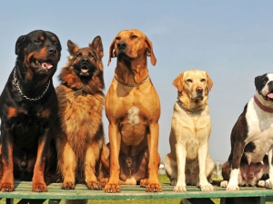 Superstitions About Howling Dogs