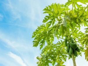 Incredible Health Benefits Papaya Leaf Juice
