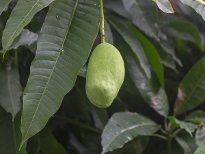 These 10 Medicinal Properties Mango Leaves Will Amaze You