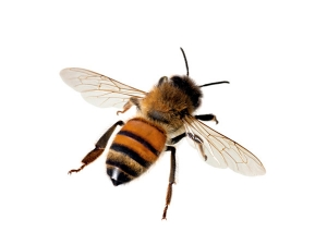 Best Home Remedies Get Rid Honey Bees