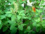 Signs Tulsi Plant Changes Its Colour Density Leaves Indica