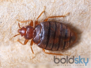 Harmful Effects Of Bed Bugs