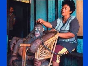 The Horrifying Story Of An Orangutan Who Was A Slave Used For Pleasure