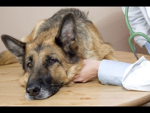 7 Home Remedies Pets Itchy Ears