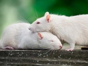 Eight Home Remedies Get Rid Rats