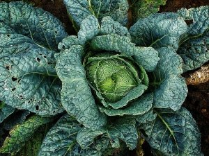 Amazing Benefits Of Cabbages For Skin Hair And Health