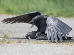 When Crows Were Recorded Having Sex With Dead Corpse
