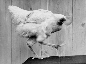 History About The Chicken That Lived For 18 Months Without A Head