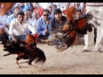 Unknown Historical Facts Behind Cockfight Competitions In Andhra Pradesh