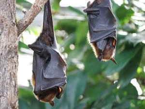 Nipah Virus Transmission Symptoms And Diagnosis