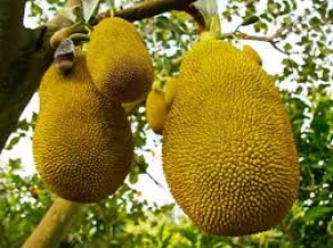 Let S Check For Diarrhea With Jack Fruit