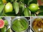 Beat A Toothache With Guava Leaves