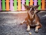 Rabies In Dogs Causes Symptoms Diagnosis And Treatment