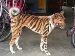 In An Attempt To Save Crops Karnataka Farmer Paints His Dog To Resemble A Tiger