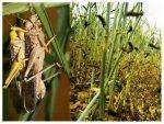 India Suffers Worst Locust Swarm Attack In Decades