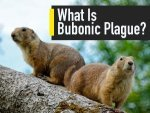 What Is Bubonic Plague Symptoms Causes Treatment And Precautions