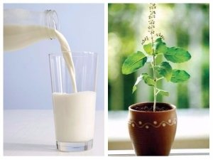 Why Drinking Tulsi Milk Is Good For Your Overall Health