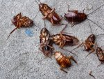 Do You Know That Cockroaches Are Now Almost Impossible To Kill