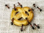 Superb Home Remedies To Get Rid Of Ants