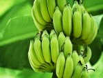 Do You Know Green Bananas Can Aid Weight Loss